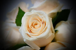White rose detail vignette Stock Photography