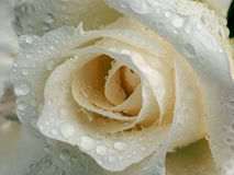 White rose with dew. Rose with water Stock Photos