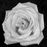 White rose with dew. A white rose with dew on the petals Stock Photos