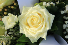 White rose with dew drop Stock Images