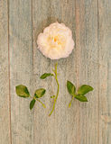 White rose disected Royalty Free Stock Images