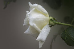 White rose  drop. Macro of the white rose with drops , soft Stock Photography