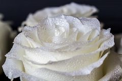 White rose and drops of water on petal of roses. Luxury romantic wallpaper Stock Image