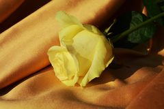 White rose on elegant background Stock Photos