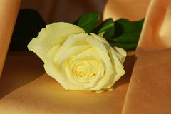 White rose on elegant golden background Royalty Free Stock Image