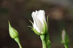 White rose and buds Royalty Free Stock Photo