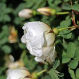 The white rose of Finland Royalty Free Stock Images