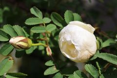 The white rose of Finland Stock Photography