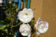 White Rose flower Royalty Free Stock Photo