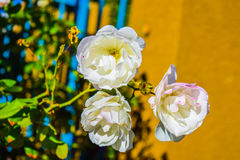 White Rose flower Royalty Free Stock Photos