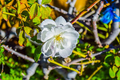 White Rose flower Royalty Free Stock Images