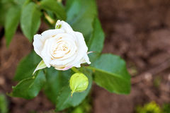White rose flower in bloom Royalty Free Stock Photo