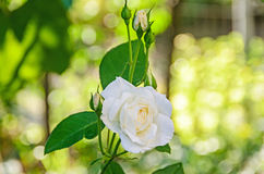 White rose flower with buds, green bokeh background Royalty Free Stock Photo