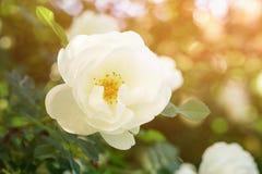White rose flower on bush closeup photo. Sunny day Stock Photography