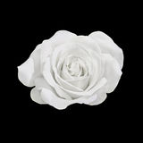 White rose flower, close up, dark background Royalty Free Stock Photos