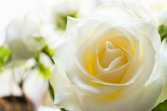 White rose flower closeup Stock Photography