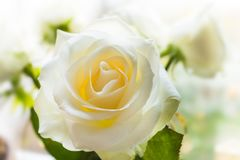 White rose flower closeup on blurred bouquet Royalty Free Stock Image