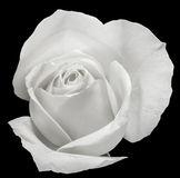 White rose flower, details, close up, macro Royalty Free Stock Images