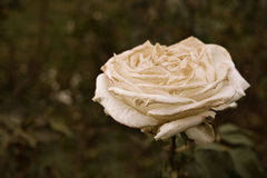 White rose flower dying on steam a lot of space for text selective focus. Wilted rose in autumn garden. Autumn season Stock Photography