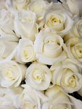 White rose flower in a floral bouquet for gift of love, background and texture. Nature and botany, flora and natural life, flower petals with intense colors for stock image