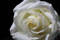 Rose white, flower. beautiful, macro stock photography