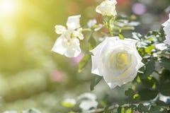 White rose. Flower in garden stock image