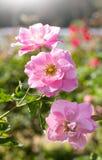 White rose flower Stock Images