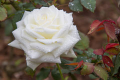 White  Rose flower Royalty Free Stock Image