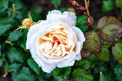 White, Rose, Flower, Green Stock Photos