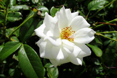 White rose flower among green Royalty Free Stock Photo
