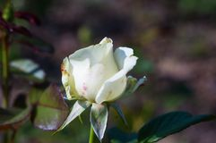 White Rose flower. Nature. close up, selective focus. White Rose flower on green background. Nature royalty free stock photos