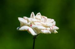 White Rose flower. Nature. close up, selective focus. White Rose flower on green background. Nature stock photos