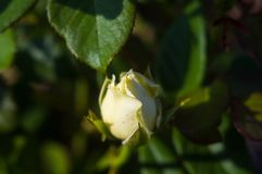 White Rose flower. Nature. close up, selective focus. White Rose flower on green background. Nature stock image