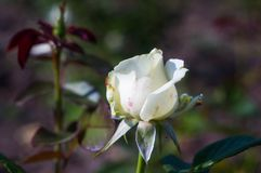 White Rose flower. Nature. close up, selective focus. White Rose flower on green background. Nature stock images