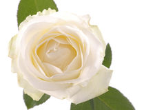 White rose flower over white Royalty Free Stock Photo