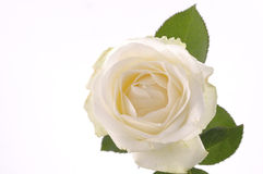 White rose flower over white Royalty Free Stock Photos