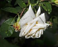 White rose flower with raindrops, narrow focus area royalty free stock photo