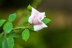 White Rose flower with raindrops. Nature. close up. White Rose flower with raindrops on green background. Nature stock photo