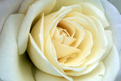 White Rose Flower's Delicate Petals Stock Photo