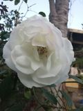 White rose. Flower wallpaper and background royalty free stock photography