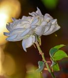 White rose flower. White flower macro closeup rose flowers bokeh nature park garden background royalty free stock photography