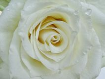 White rose. Flowerhead stock images