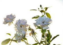 White rose flowers with white background outdoors nature blossom petals royalty free stock image