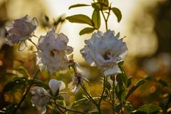 White rose flowers flowering portrait blossom closeup nature depth of field in the garden at sunset lighting background. White rose flowers flowering portrait royalty free stock photos