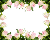 White rose flowers frame. Beautiful white rose flowers frame isolated on white background Stock Photos