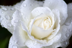 White rose Stock Image
