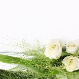 White rose frame. White roses over white background - perfect isolated for your text Stock Image