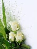White rose framed Stock Images