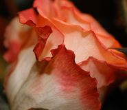 White rose, framed by a red tint. Royalty Free Stock Images