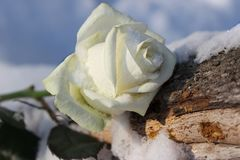 White rose freezes in cold snow. White delicate rose freezes in cold snow Stock Image